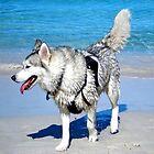 Husky at the Beach by eidann