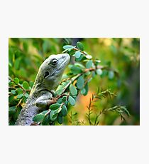 Climbing Lizard Photographic Print