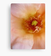 Peach Rose (Macro) Canvas Print