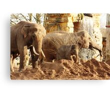 Elephant family, Chester Zoo Canvas Print
