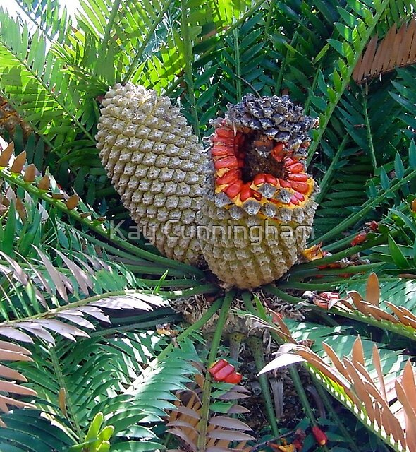Bread Palm Fruit. by Kay Cunningham