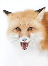Red Fox snow face  - Algonquin Park by Jim Cumming