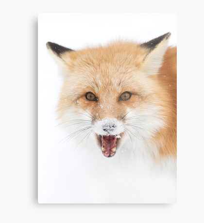 Red Fox snow face  - Algonquin Park Metal Print
