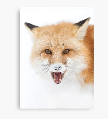 Red Fox snow face  - Algonquin Park Canvas Print