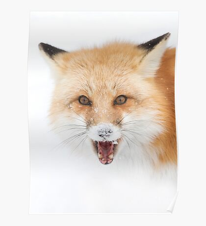 Red Fox snow face  - Algonquin Park Poster