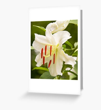 Natural Beauty White Star Lily Greeting Card