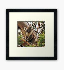Backyard Koala Framed Print