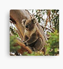 Backyard Koala Canvas Print