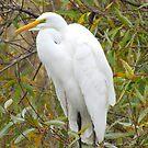 Snowy Egret by Steve Hunter