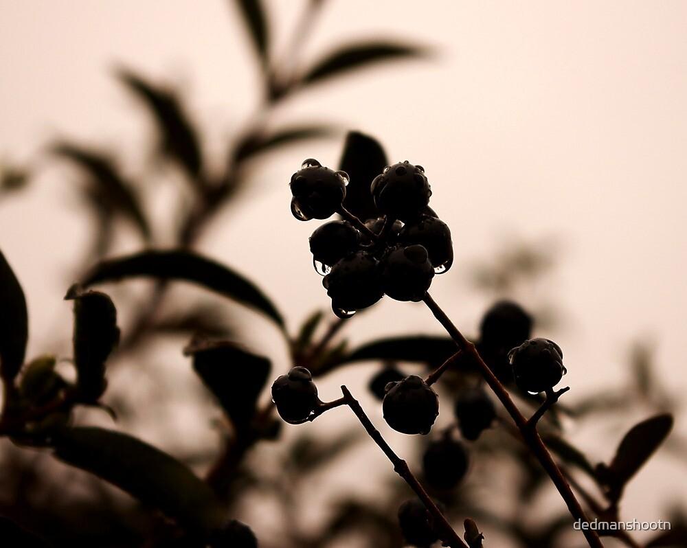 raindrops and hedge berries by dedmanshootn