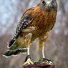Red Shouldered Hawk by Mikell Herrick