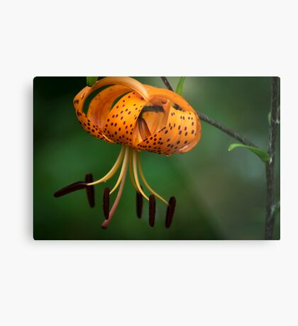 Tiger Lilly disguised as a Leopard Lilly Metal Print