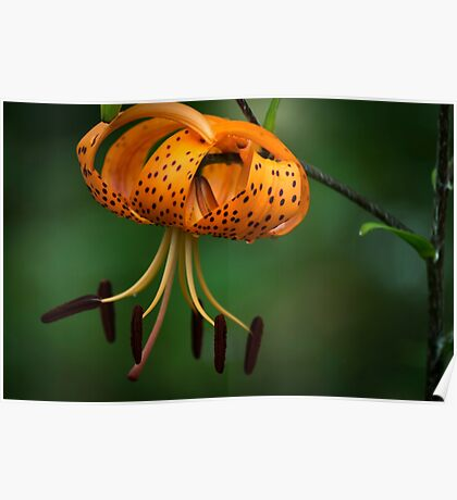 Tiger Lilly disguised as a Leopard Lilly Poster