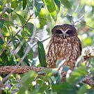Boobook owl 2 by Sarah Guiton