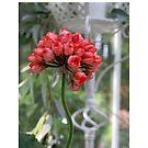 Rosebud Type Geranium by Pat Yager