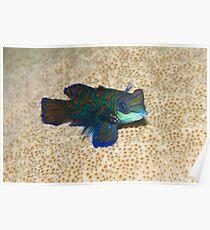 Single Mandarinfish Poster