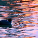 Sunset Coot, Arizona by Christine Ford