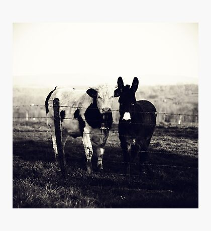 Cow and donkey, best friends Photographic Print