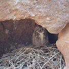 Nesting Owl, Lake Havasu by Christine Ford