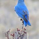 Mountain Bluebird turns his back by Christine Ford