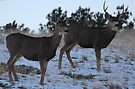 Winter deer by Christine Ford