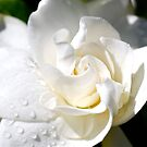 Gardenia close up by Penny Smith