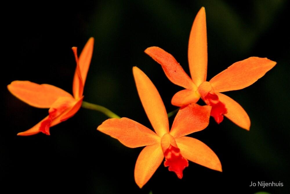 Orange Orchids by Jo Nijenhuis