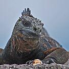 Galapagos Iguana by Ursula Tillmann