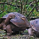 Galapagos Tortoise by Ursula Tillmann