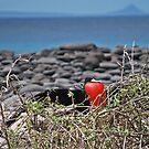 Frigate Bird on Galapagos by Ursula Tillmann
