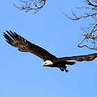 Bald Eagle Out of the Tree by DARRIN ALDRIDGE