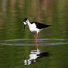 Black Necked Stilt Hunting for Food by DARRIN ALDRIDGE