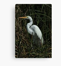 Great Egret in a Lake Canvas Print