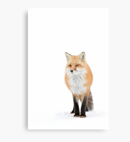 Red fox pose - Algonquin Park Metal Print