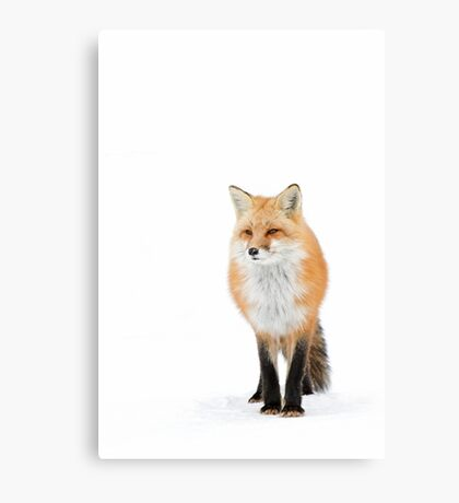 Red fox pose - Algonquin Park Canvas Print