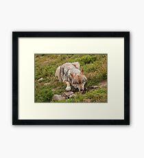 Wolf drinking Framed Print