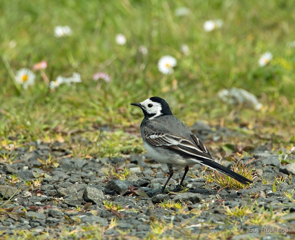 White Wagtail by Sue Robinson