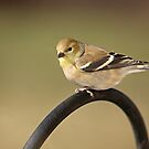 American Goldfinch by Linda Jackson