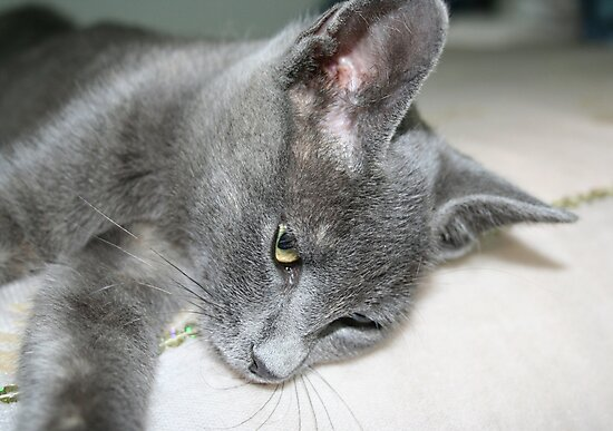Close Up Of A Grey Kitten by taiche