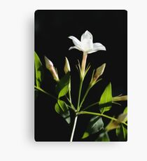 Close Up Of Jasminum Officinale Isolated On Black Canvas Print