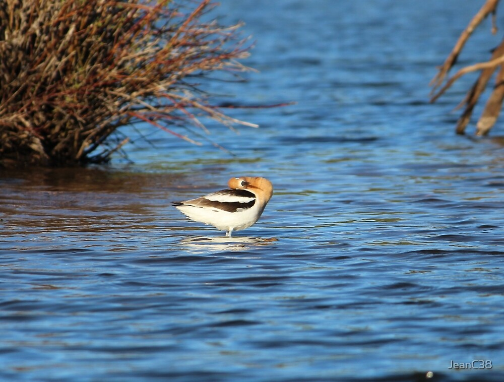 American Avocet by JeanC38