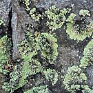 Lichen on Rock by Margaret Stevens