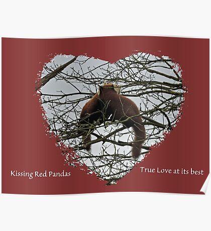 Kissing Red Pandas Poster