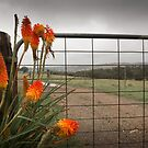 Red Hot Pokers by dcarphoto
