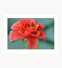 Rain Filled Rose......Lyme Dorset UK Art Print