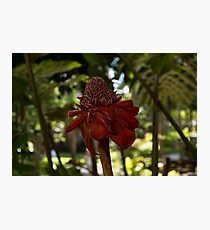 Glossy Jewel in the Jungle - Red Torch Ginger Lily Photographic Print
