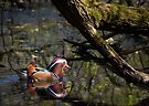 Mandarin Duck reflecting in the pond by Sara Sadler