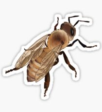 Honeybee | Apis mellifera Sticker