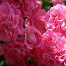 Pink Roses In Sunlight by taiche
