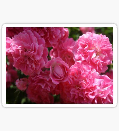 Pink Roses In Sunlight Sticker